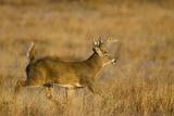 White-Tailed Deer Male Running across Grassy Habitat