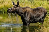 Moose  Grand Teton National Park  Wyoming