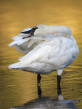 Trumpeter Swan Preening  Yellowstone National Park  Wyoming