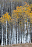 Colorado a Stand of Autumn Yellow Aspen in the Uncompahgre National Forest