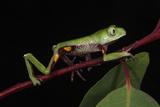 Agua Rica Leaf Frog  Amazon  Ecuador