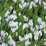 White Crocus Blooms
