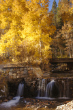 A Small Stream Cascades over a Rock Dam Amid Fall Aspens in the Sierra
