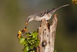 Northern Mockingbird Feeding on Anaqua Berries