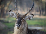Africa  Zambia Portrait of Waterbuck