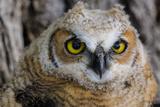 Fledgling Great Horned Owl Portrait in Cottonwood  South Dakota  Usa