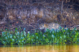 Brazil  Mato Grosso  the Pantanal Rio Cuiaba  Jaguar Among Water Hyacinth