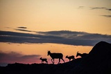 Bighorn Ewes with Lambs Silhouetted Against Sunset Sky in Badlands National Park  South Dakota