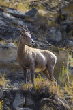 Big Horn Sheep Near Mammoth Hot Springs  Yellowstone National Park  Wyoming