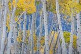 Utah  Fishlake National Forest Aspen Trees in Autumn