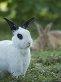 Black and White Rex Rabbit with Doe in Background  Oryctolagus Cuniculus