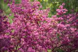 Massachusetts  Boston  Arnold Arboretum  Azalea