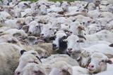 Sheep Herd in Kakheti  Georgia  Caucasus