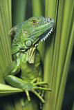 Green Iguana Blending into the Plants  Honduras