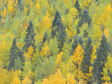 Colorado  Fall Adds Color to Aspen and Conifer Forest Near Lime Creek in the San Juan Mountains