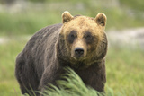 An Alaskan Brown Bear Stares Intently at Camera