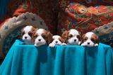 Cavalier Puppies Peeking Out of a Basket
