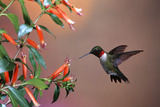 Ruby-Throated Hummingbird Male at Cigar Plant  Shelby County  Illinois