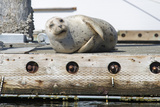 Washington State  Poulsbo Harbor Seal Winks While Hauled Out on Dock