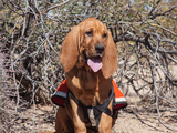 Search and Rescue Bloodhound in Training in the Sonoran Desert