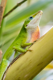 Texas  Sabal Palm Sanctuary Male Green Anole on Plant