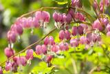Massachusetts  Boston  Arnold Arboretum  Bleeding Heart