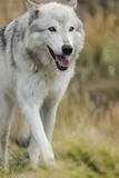 Gray Wolf Running in a Fall Drizzle  Canis Lupus  West Yellowstone  Montana