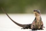 Close-Up Portrait of an Iguana on the Beach Near Staniel Cay  Exuma  Bahamas