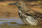 Texas  Hidalgo County Curve-Billed Thrasher Bathing