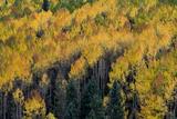 Colorado Autumn Yellow Aspen  Fir Trees  Uncompahgre National Forest