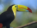 Keel-Billed Toucan  Honduras