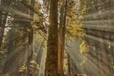 Sun Rays Penetrate Forest Floor at Ross Creed Cedar Grove in Kootenai National Forest  Montana