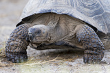 Ecuador  Galapagos Islands  Isabela  Urvina Bay  Galapagos Giant Tortoise Walking