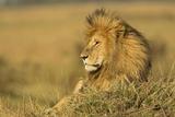 Adult Male Lion Resting on Termite Mound  Masai Mara  Kenya