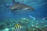 Whale Shark over Coral Reef  Cebu  Philippines