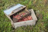 Massachusetts  Wareham  Cranberries