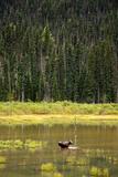 Cow Moose Feeding on Aquatic Plants in a Mountain Marsh