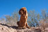 Bloodhound in the Sonoran Desert