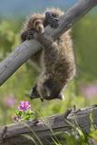Baby Raccoon Upside Down  Montana  Usa