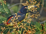 Collared Aracari Calling in the Trees  Honduras