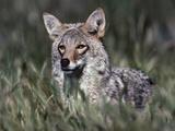 Coyote Standing in the Grass  Arizona  Usa