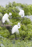 Great Egret Displaying Breeding Plumage at Nest Colony