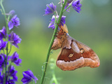 Male Polyphemus Moth  New Mexico  Usa
