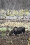 Alaska  Moose Off Seward Highway Near Girdwood