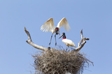 Brazil  Mato Grosso  the Pantanal Jabiru Flying into the Nest