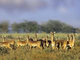 Impala Herd  Kenya  Africa