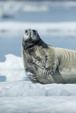 Canada  Nunavut Territory  Repulse Bay  Bearded Seal Resting in Summer Sun on Sea Ice on Hudson Bay