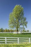 White Horse Fences and Tree in New Spring Foliage  Lexington  Kentucky