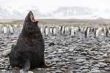 South Georgia Island  Salisbury Plains Fur Seal Makes Warning Call to Protect His Territory