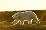 Canada  Setting Midnight Sun Lights Polar Bear Walking Along Rocky Shoreline by Hudson Bay